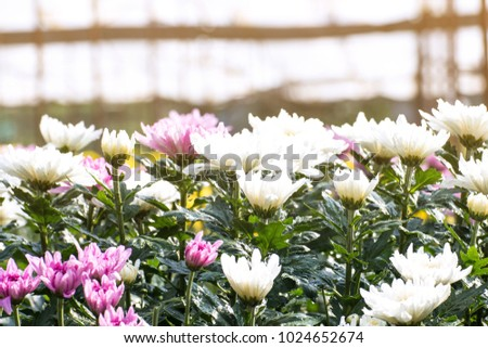 Beautiful of Chrysanthemums flowers outdoors,Daisies in the agriculture garden,Chrysanthemums in the Park #1024652674
