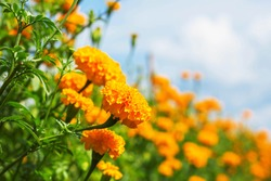 Beautiful of marigold with the sky in winter.