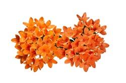 Beautiful of orange Ixora ( Coccinea) flowers on white BG.
