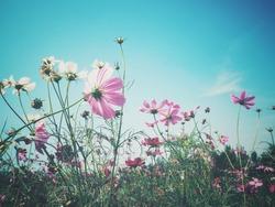 Beautiful of pink cosmos flowers vintage