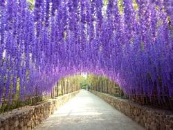 Beautiful Of Purple Flower Tunnel