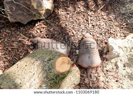 Beautiful of Six-banded Armadillo animal sleeping on the ground background in sunshine day at spring or summer season. #1103069180