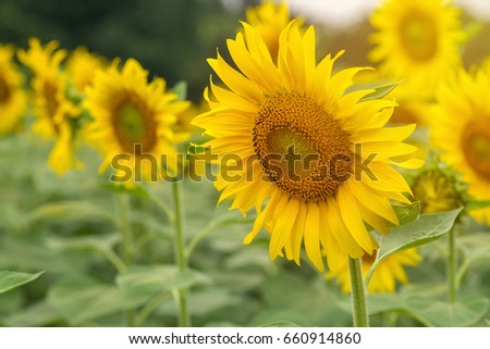 beautiful of Sunflower blooming in Sunflowers garden. #660914860