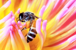 Beautiful of super macro or close-up photo the big bee on lotus flower, purple or violet mixed pink and yellow color, as nature and animal background or texture pattern wallpaper.