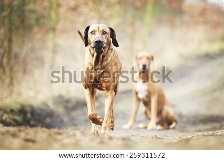 beautiful old rhodesian ridgeback dog running