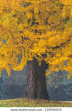 Beautiful old tree with orange leaves during fall - stock photo