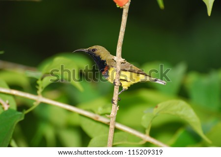 beautiful olive-backed sunbird olive-backed sunbird #115209319