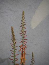 Beautiful orange aloe vera flowers