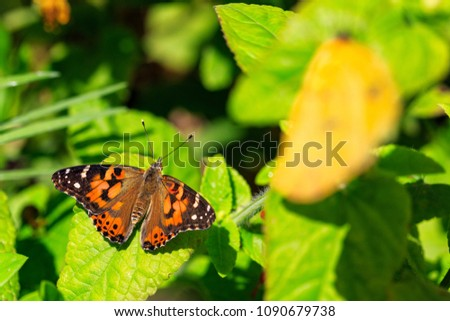 Beautiful orange and black Painted Lady butterfly on green plant leaves