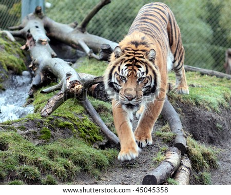 Beautiful orange and black striped tiger walks down a path - stock photo