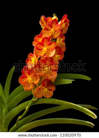 Beautiful Orange and Red Phalaenopsis Orchid on black background