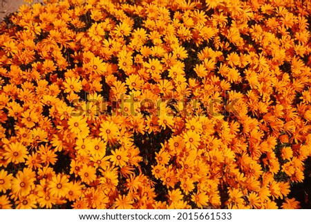 Beautiful orange and yellow Daisies, Western Cape, South Africa Stock photo ©
