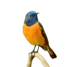 Beautiful orange bird with blue head perching on wooden branch isolated on white background, male of Blue-fronted Redstart
