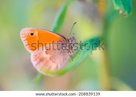 beautiful orange butterfly sitting on grass in sunset light #208839139