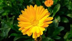 Beautiful Orange Calendula Bud . Blooming marigold flowers. Orange pot marigold. Orange calendula officinalis flowers