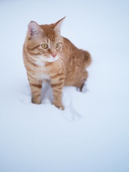 Beautiful orange cat breed Mei kun winter walks in the snow, she sniffs the snow, prior to that, she never saw him. very smart, affectionate cat with big green eyes