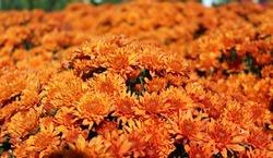 beautiful orange colored mums in fall