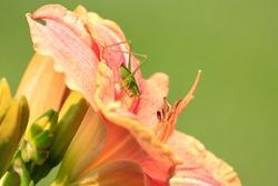 Beautiful orange day lily grasshopper long legs tiny antenna petals stigmas attractive green grass background sunny summer day Nottingham Maryland USA