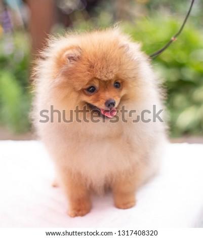 Beautiful orange dog - pomeranian Spitz. Puppy pomeranian dog cute pet happy smile playing in nature
