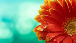 Beautiful orange flower Gerbera with water drops on turquoise abstract background.