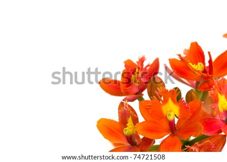 Beautiful orange  flower (Orchid) isolated on white background