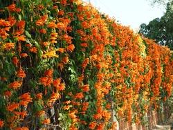 Beautiful orange flowers, Orange trumpet, Flame flower, Fire-cracker vine.