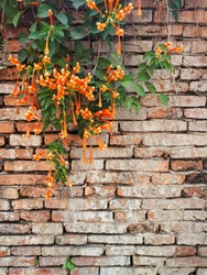 Beautiful orange flowers (orange Trumpets, or flame flowers) with the  vines on the antique vintage brick wall background