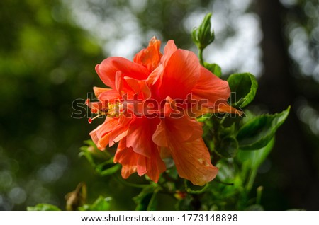 Beautiful orange hibiscus flower (Hibiscus rosa sinensis) on green nature background. Karkade in the tropical garden. Hibiscus flower Jaswand Plant. Tropical Hawaiian Hibiscus flower