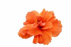 Beautiful orange Hibiscus flower isolated on white background.