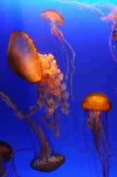 Beautiful orange jellyfish over blue background