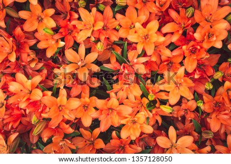 Beautiful orange lilies. Close up of blooming Orange Twins lily flowers. Bright floral background, card, pattern with filed full frame picture. Top view. View from above.