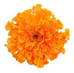 Beautiful orange marigold flower isolated on white background. Bright orange tagetes, African marigolds close up