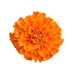 beautiful orange marigold flower isolated on white background with clipping path