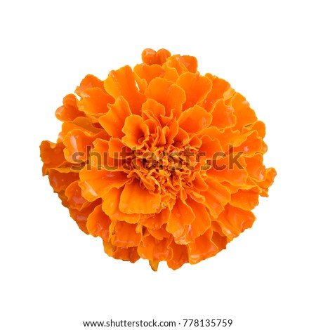 beautiful orange marigold flower isolated on white background with clipping path #778135759