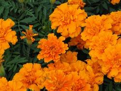 Beautiful orange marigold flower (Tagetes erecta, Mexican marigold, Aztec marigold, African marigold)