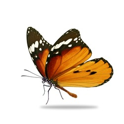 Beautiful orange monarch butterfly isolated on white background