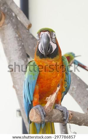 Beautiful orange pet parrot macaw