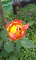 Beautiful Orange&Red Mixed Rose , Colourful Pictures Of Roses,Hd Rose Wallpaper