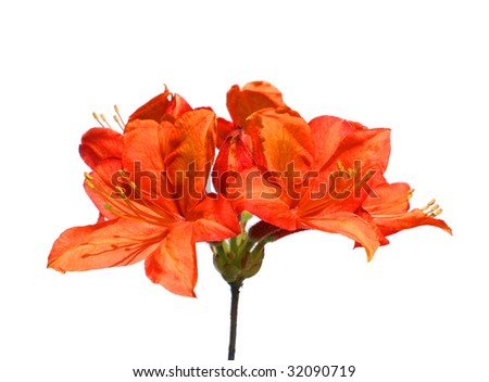beautiful orange rhododendron flower isolated on white