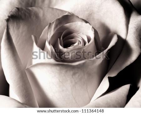 beautiful orange rose closeup in black and white photo