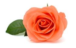 beautiful orange rose flower isolated on white background