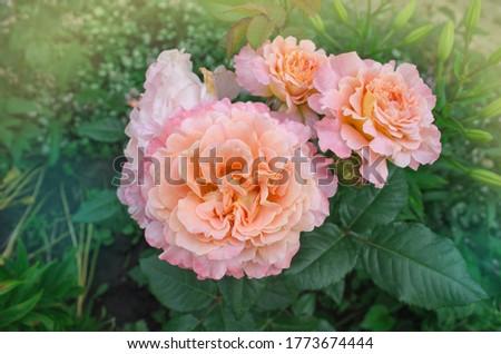 Beautiful orange rose. Flower petals with wavy edges