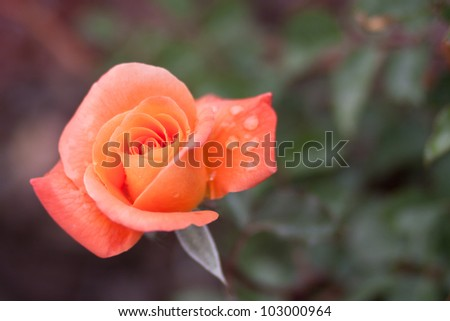 Beautiful Orange Rose in Garden with Blurred Background