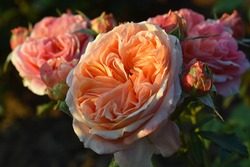 Beautiful orange rose in the garden, in the style of vintage roses. Graceful rose