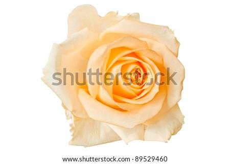 Stock Photo Beautiful orange rose, isolated on white