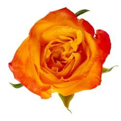 beautiful orange single rose bud  isolated on a white background