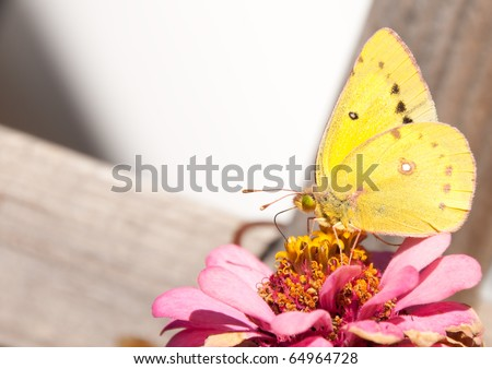 Beautiful Orange Sulphur butterfly perched on a pink Zinnia
