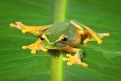Beautiful Orange thighed tree frog, Litoria zanthomera, sitting on a leaf looking at camera