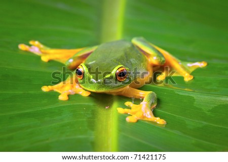 Beautiful Orange thighed tree frog, Litoria zanthomera, sitting on a leaf looking at camera