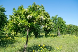 Beautiful orange tree with orange blossoms in a countryside